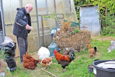Larkin Stentz chickens