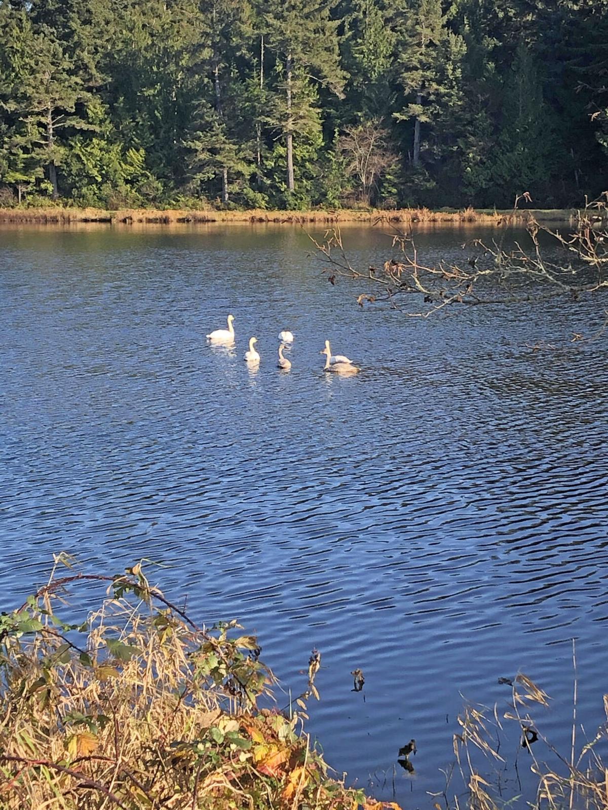 Trumpeter swans on Black Lake