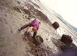 Peninsula life: Working the oysters