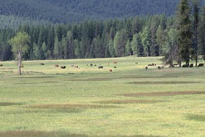 Cattle graze in National Forest