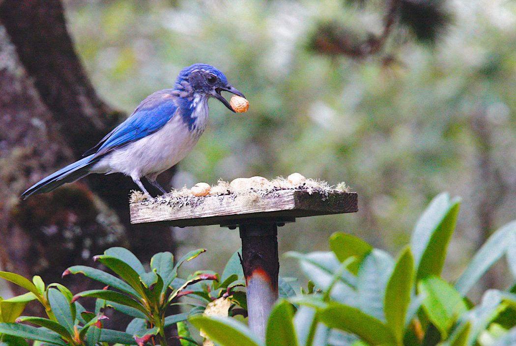 f086d0ef2ef Birdwatching: Farewell to the western scrub-jay | Wildlife, Fishing ...
