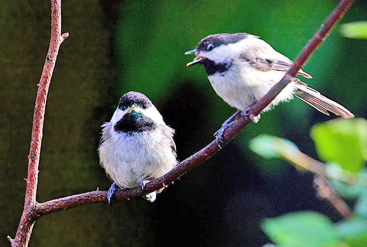 Black-capped chickadee adult and juvenile