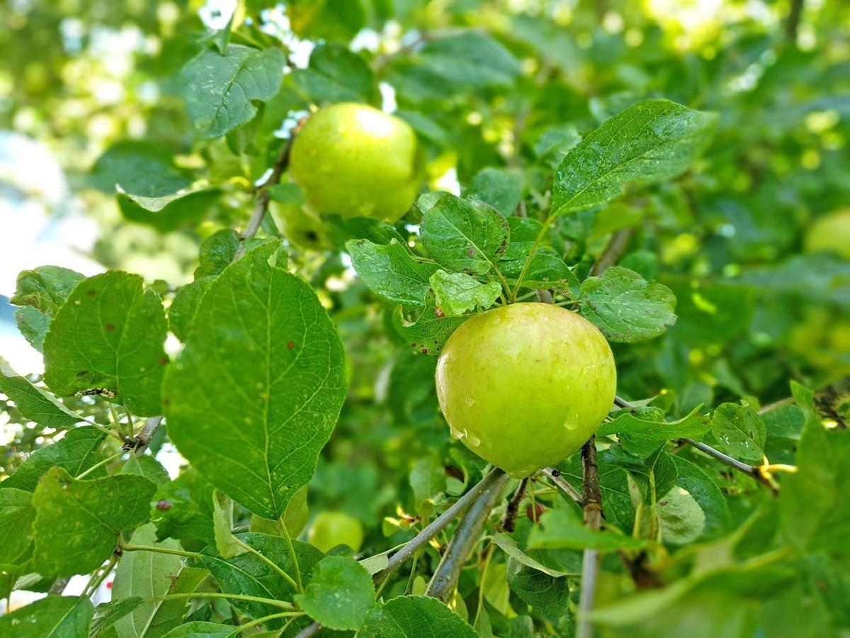Chehalis apples