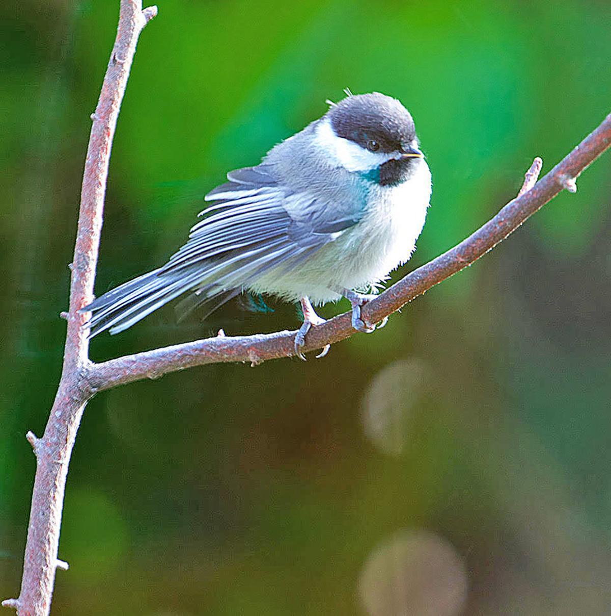 Black-capped chickadee adult