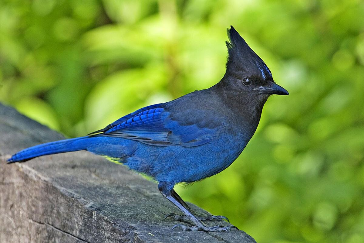 Northwest Nature Log Our Two Blue Jays