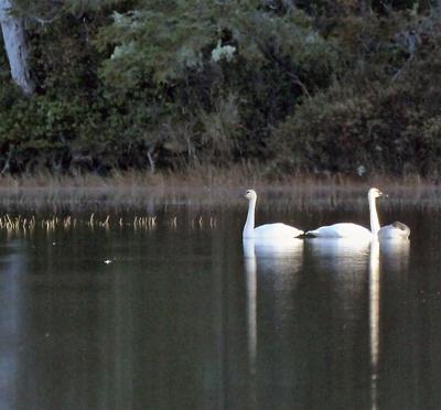 Swans return to Peninsula