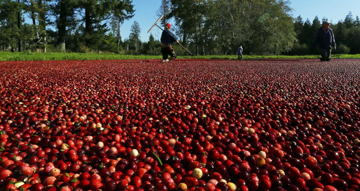 Crimson harvest:  Vibrant cranberries ready for the holidays