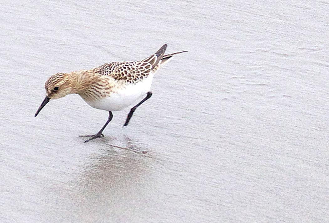 Birdwatching  Baird's sandpiper: A refuge and Peninsula first-timer