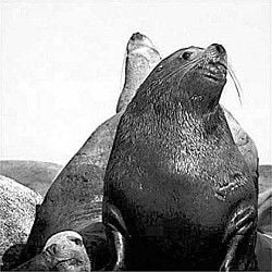 Early data shows sea lion impact on 2006 spring fish run