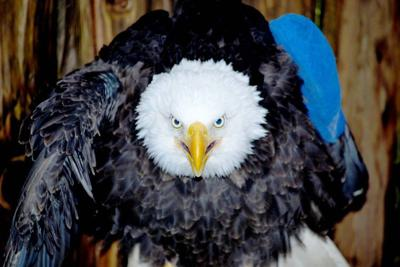 Another wounded eagle recovering at wildlife center