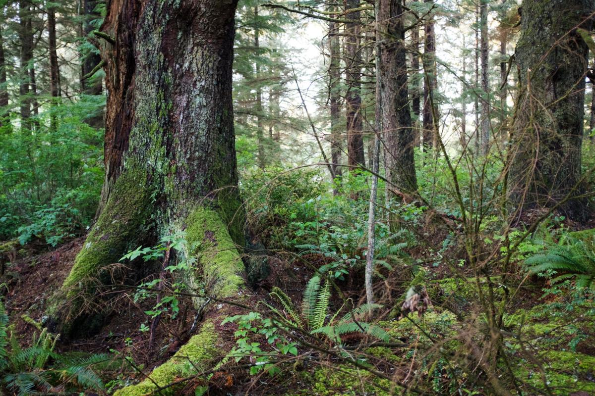 Ilwaco spins differing visions for forest