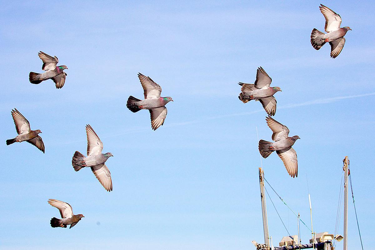 Pigeons flying at Nahcotta