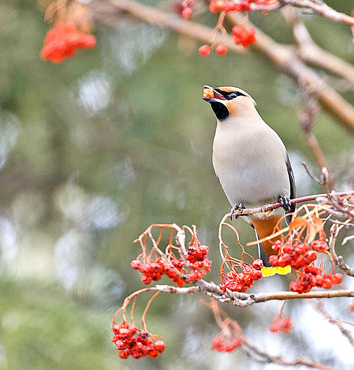 Bohemian waxwing with a berry