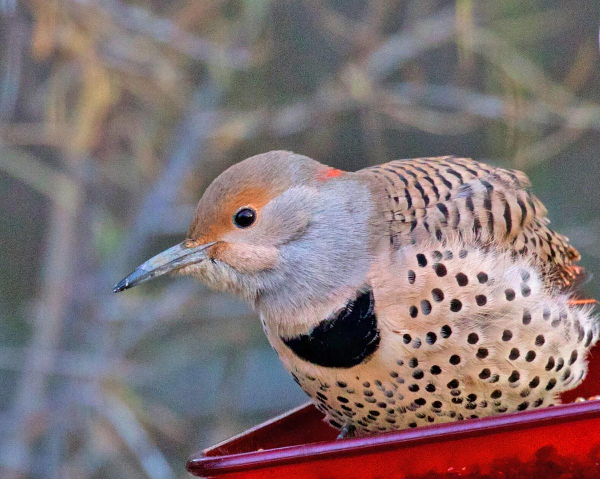 Red-shafted female northern flicker