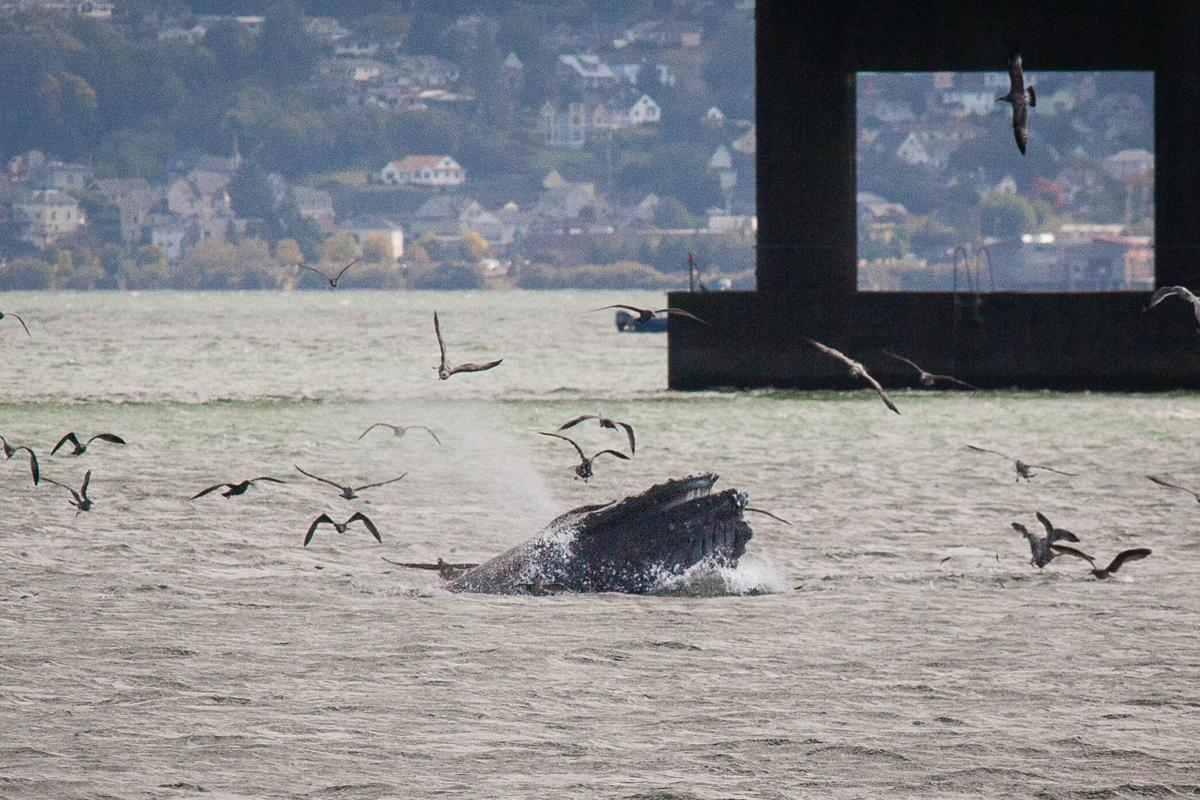 Humpback heaven: Whales discover moveable feast in Columbia