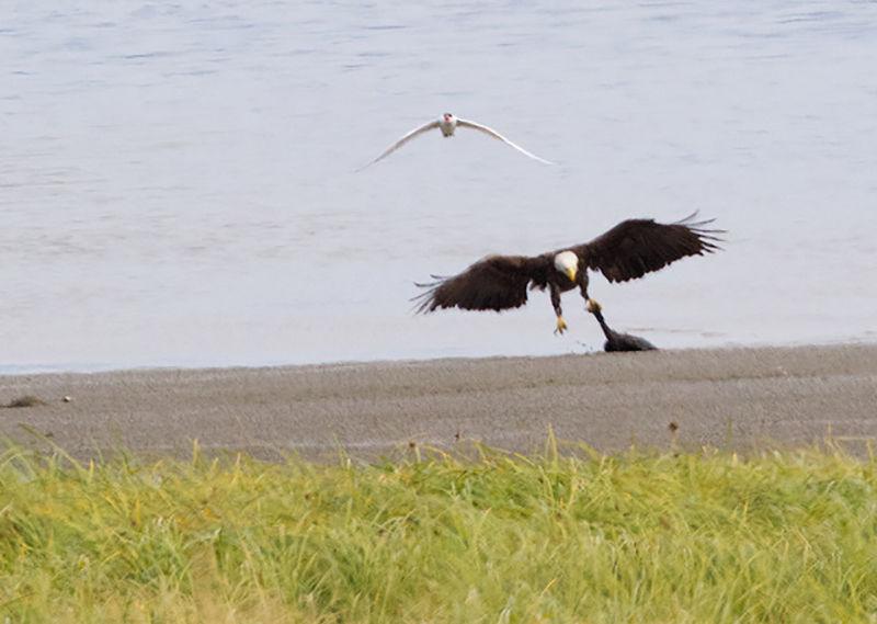Eagle predation