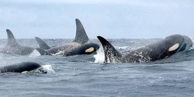 Can Genome Sequencing Help Northwest Orcas Recover?