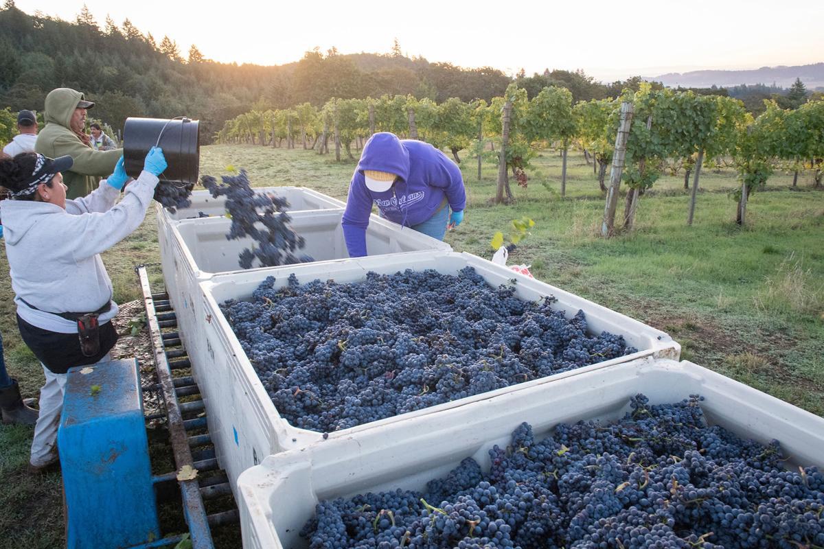 Bethel Height Vineyard harvest