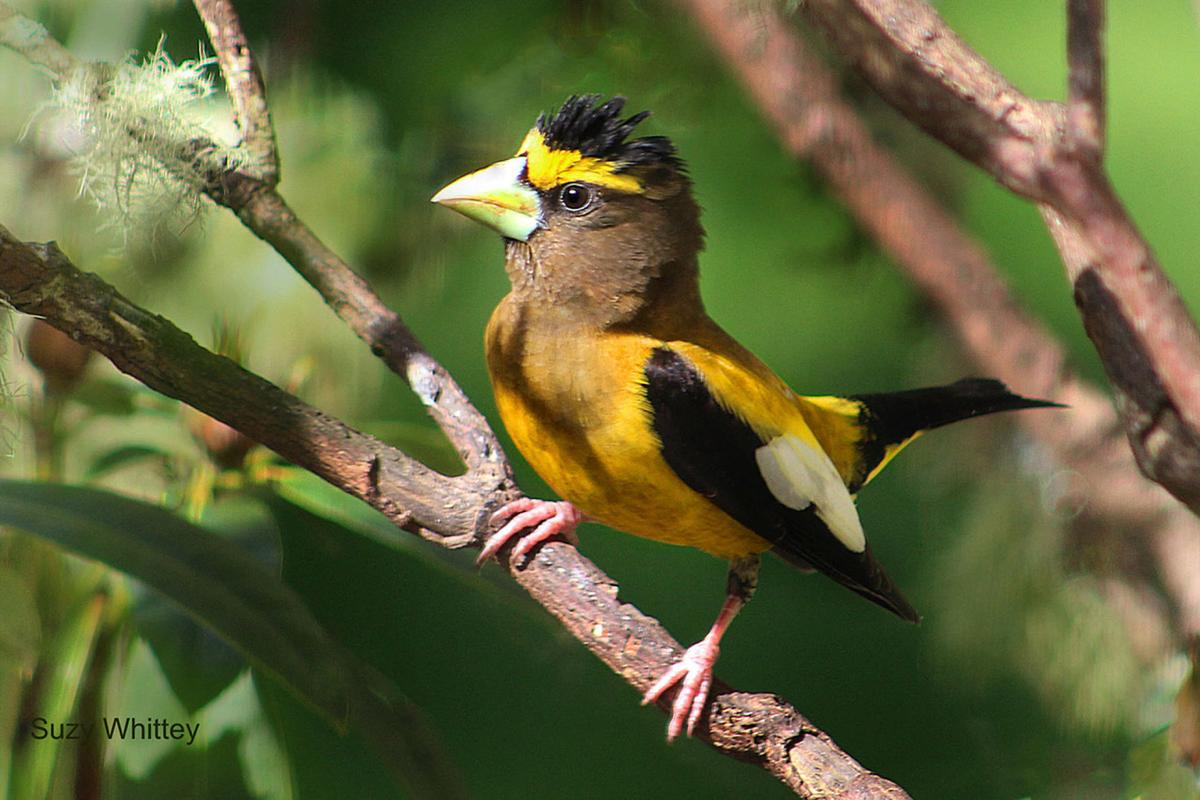 Birdwatching  There's a new kid on the block: the evening grosbeak