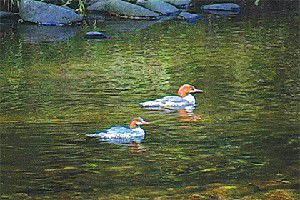 Nature Notes: Mergansers