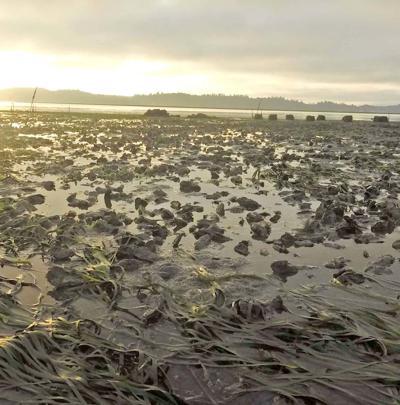Dawn on Willapa Bay