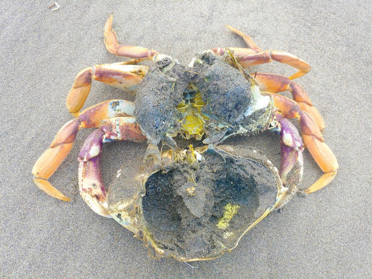 Crab shell split in two