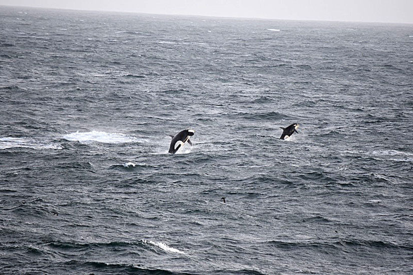 Orcas cavort off the mouth of the Columbia
