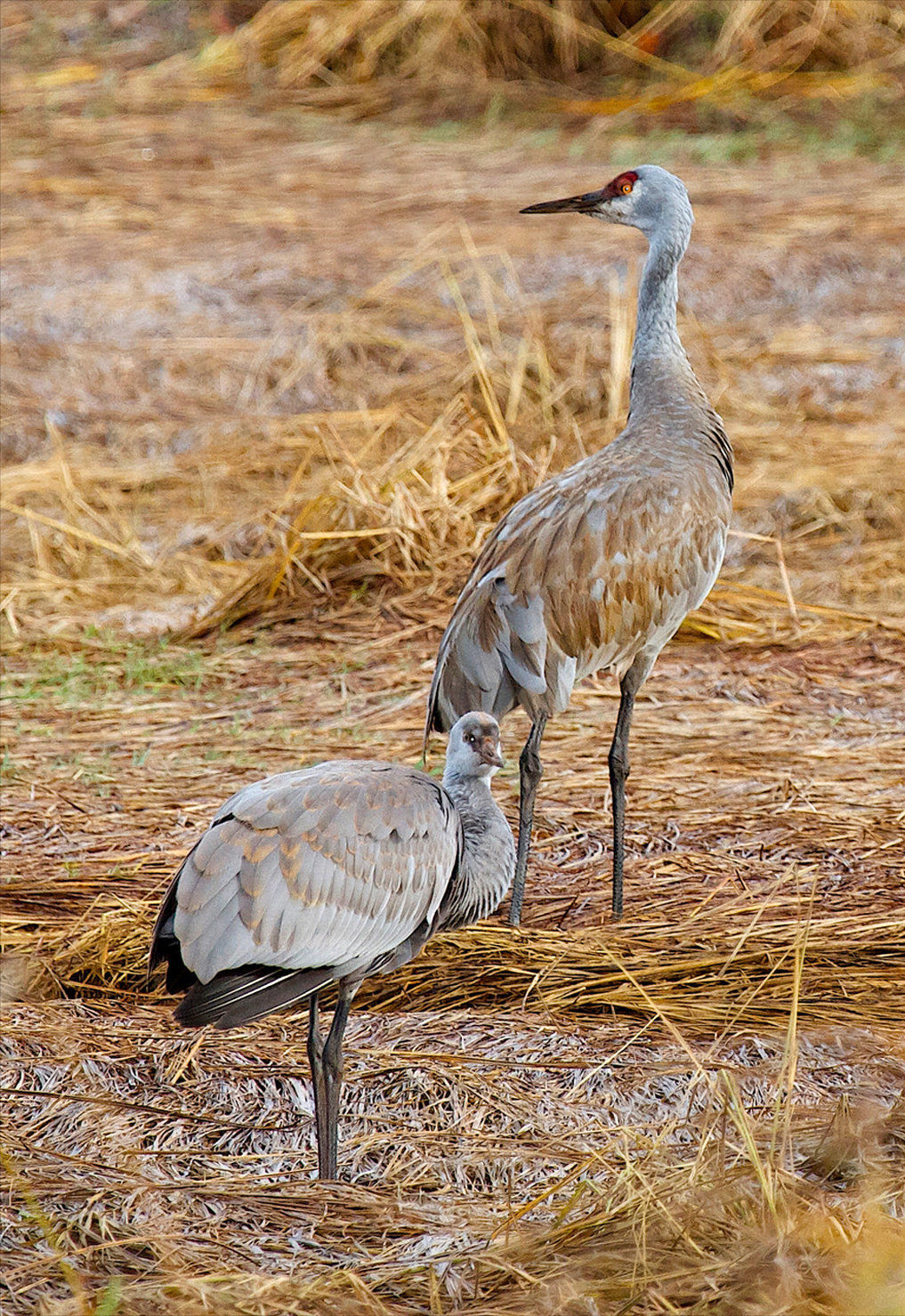 Birdwatching:  Willapa offers chances to see charismatic Sandhill cranes