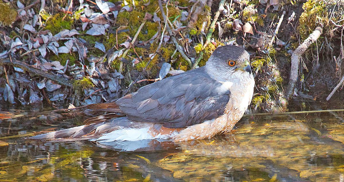 Cooper's hawk in water