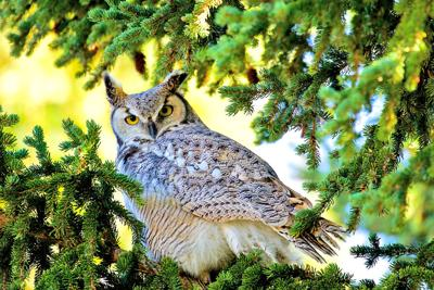 Birding: Celebrate Willapa's eight 'birds of the night'