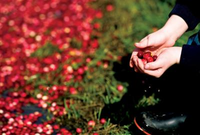 Ocean Spray growers, independent growers and the current surplus of cranberries