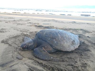 Ranger finds sea turtle on Columbia River beach