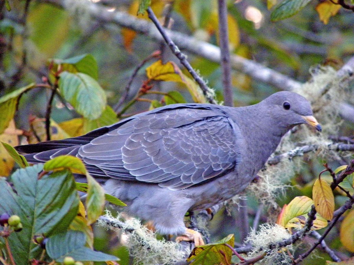 Juvenile band-tailed pigeon