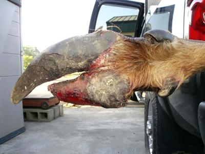 Elk hoof rot spreading eastward