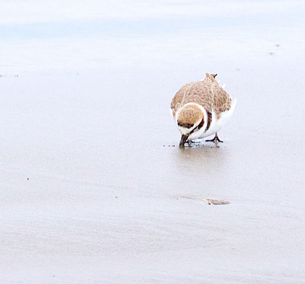 Western snowy plover on beach