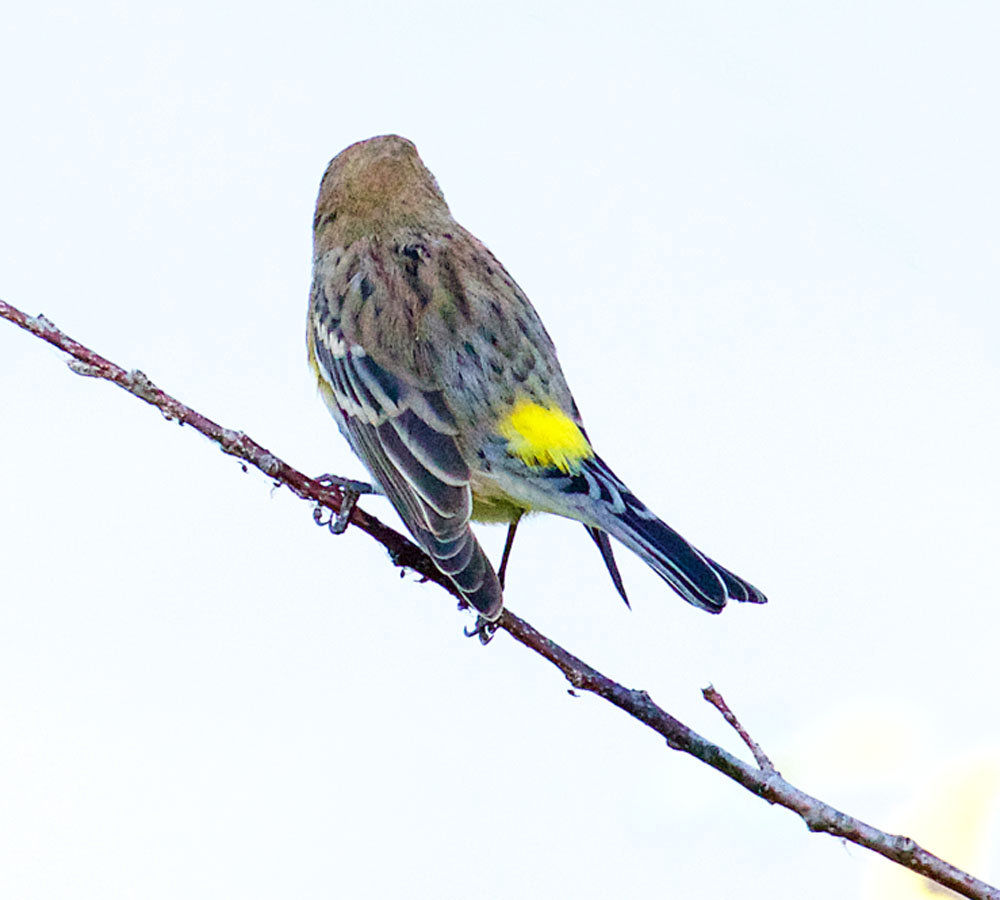 Birdwatching:  'Butterbutts' may be at least three different species?