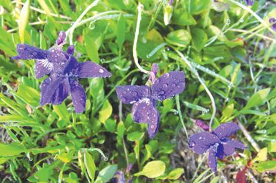 Early-blue violets to the rescue…