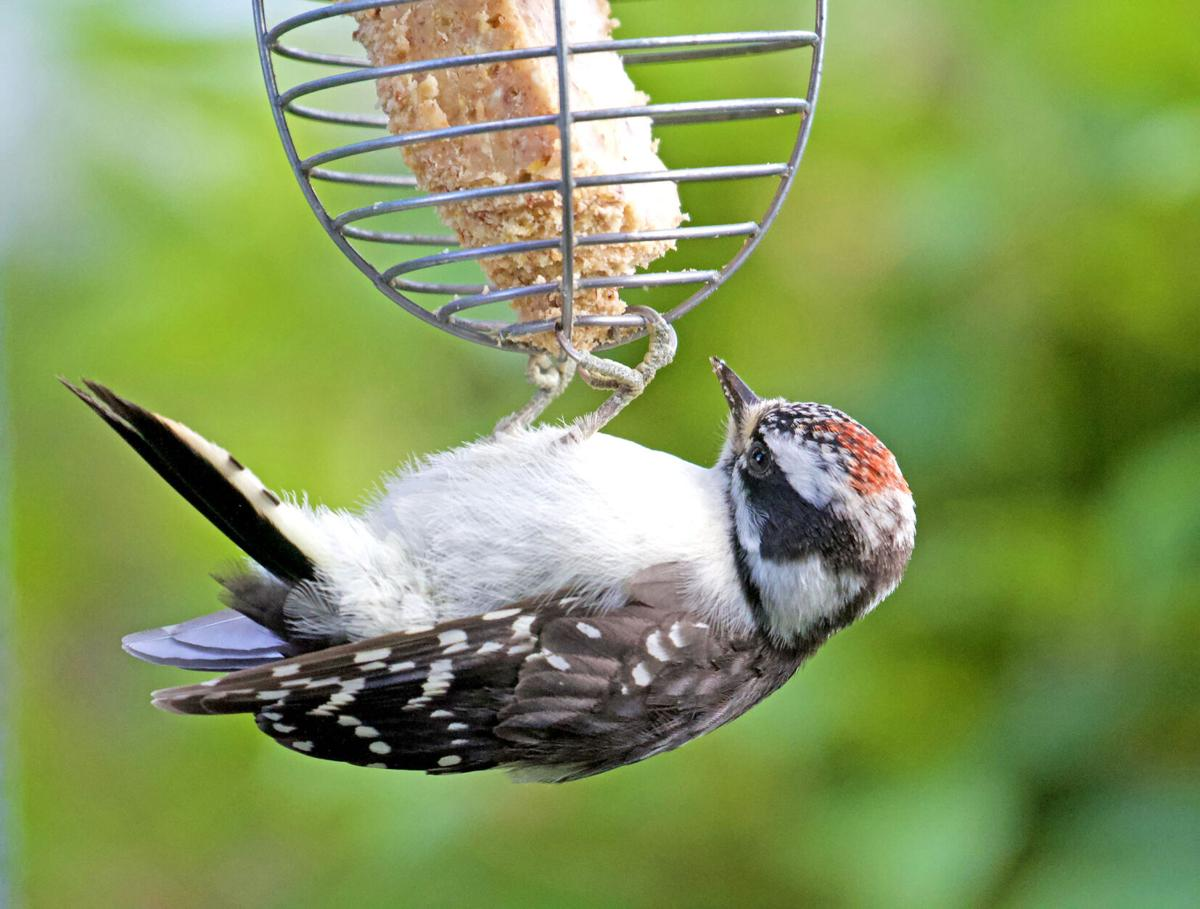 Acrobatic woodpecker