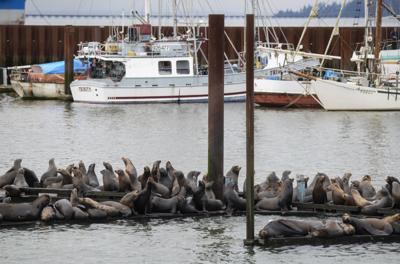 NW governors urge Congress to act on sea lion predation bill