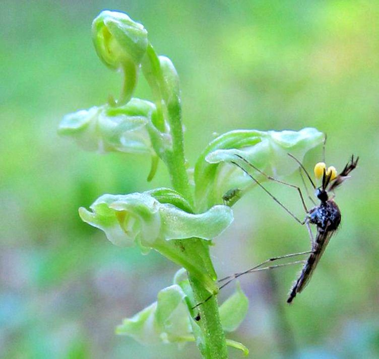 Mosquito feeds from a blunt-leaf orchid