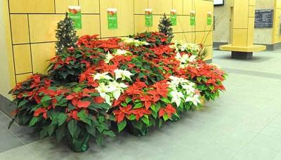 Traditional poinsettia display comes at a cost