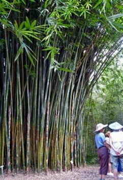 Bamboo Good For Privacy But Do Your Homework Real Estate