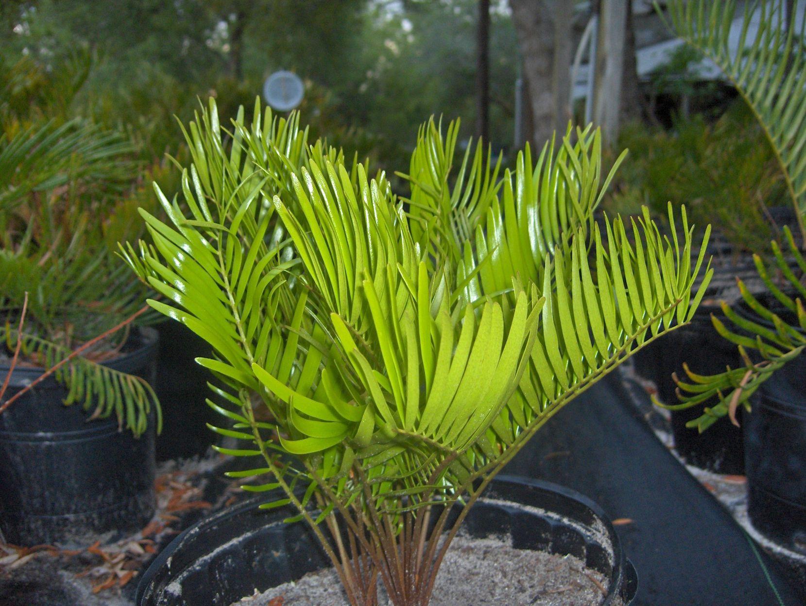 Zamia floridana 10 Floridan Zamia integrifolia cycad seeds