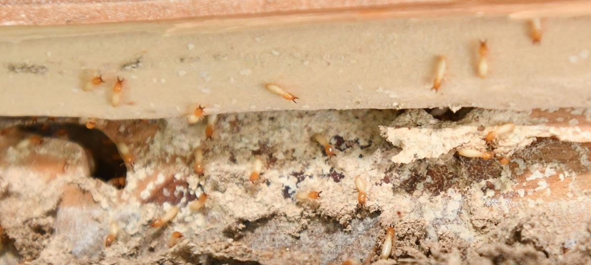 Besieged By Tens Of Thousands Of Termites You Re Not Alone Local News Chronicleonline Com