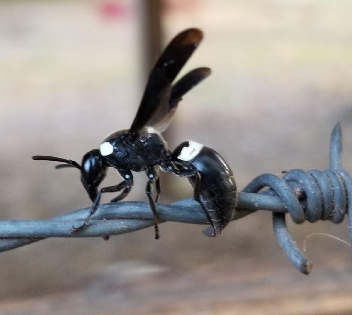 wasp solitary chronicleonline bidens trouble mason looking any leslie