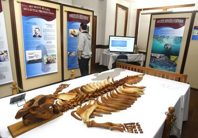 Manatee museum display