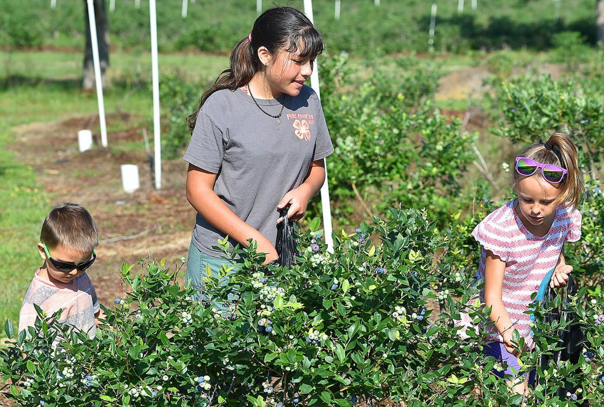 Berry picking 2.jpg