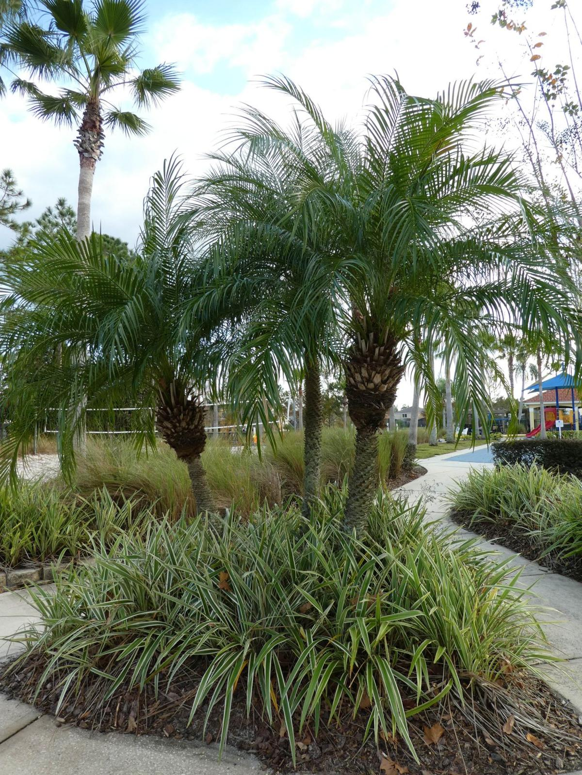 Frost-tender Pygmy Date Palms | Real Estate | chronicleonline.com on