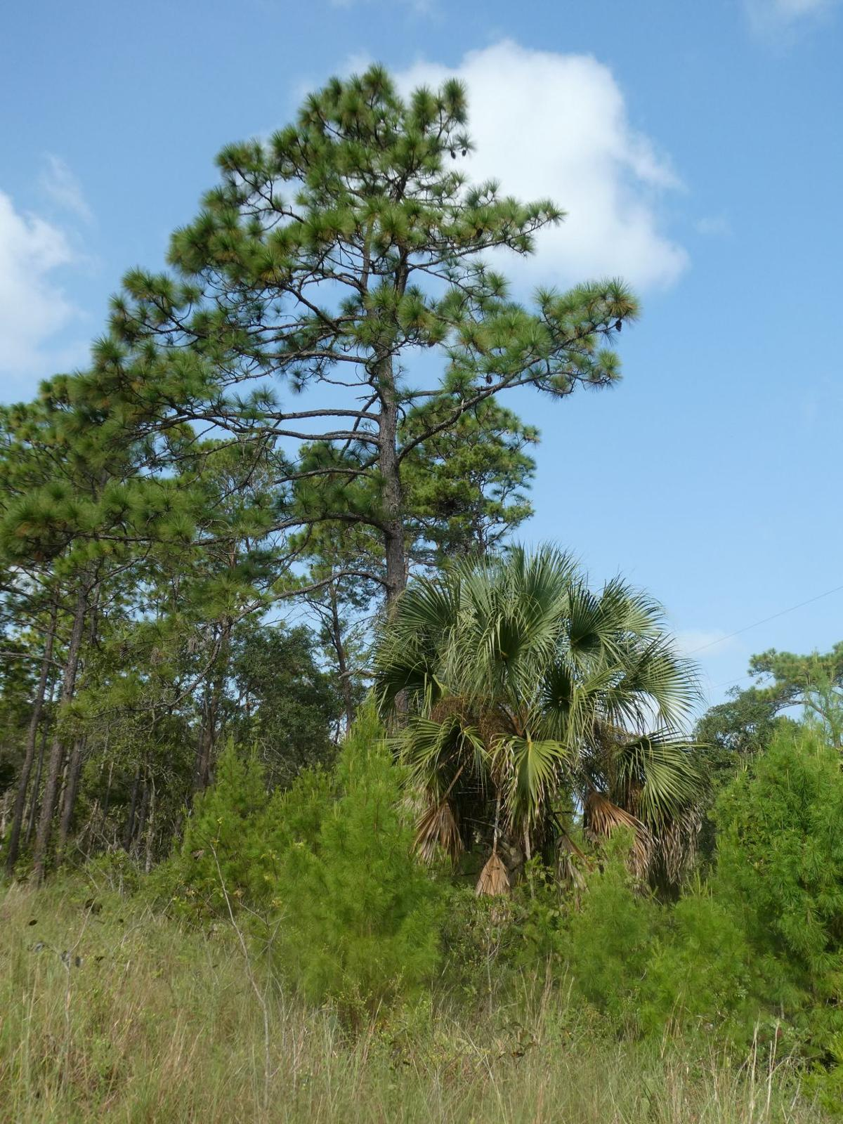 1006 pine 1.JPG