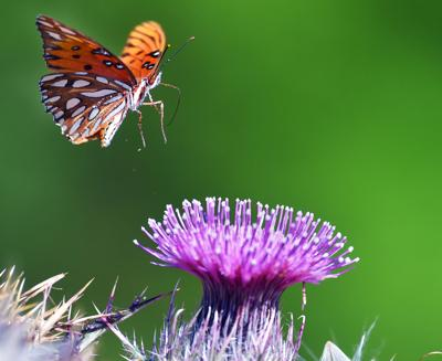Butterfly and Milk Thistle